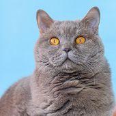 Cute British Shorthair Cat Portrait On Blue Background. poster