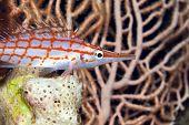 stock photo of hawkfish  - Longnose hawkfish taken   in de Red Sea - JPG