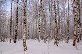 Birch Grove In The Winter In The Snow. White Trees. Trees In The Snow. Snow Picture. Winter Landscap poster