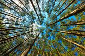 Japanese cypress forest Cryptomera Japonica dynamic view from below, Kumano Kodo forest in Japan poster