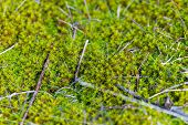 Moss-covered Stone. Beautiful Moss And Lichen Covered Stone. Bright Green Moss Background Textured I poster