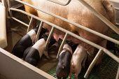 Piglets Suckling Fertile Sow In Modern Enclosure In Pigpen poster