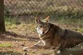 Red Wolf (canis Lupus Rufus) A Rare Wolf Species  Native To The Southeastern United States. Picture  poster