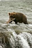 stock photo of brook trout  - Grizzly bears fishing for salmon Brooks Falls Katmai NP Alaska - JPG