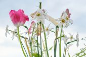 Bouquet Of Faded Spring Flowers, Tulips And White Daffodils Dried Up, Background Evening Sunset Sky  poster