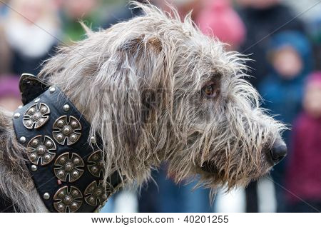 Head Of A Shaggy Wolfhound