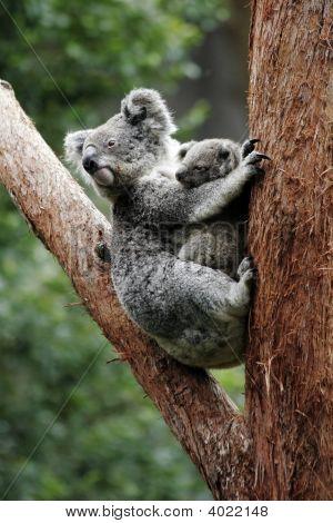 Koala Bear Mother And Baby