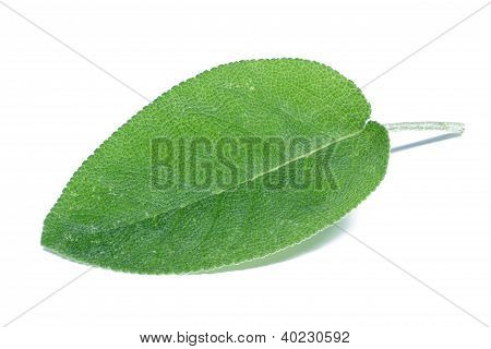 Single sage (salvia) leaf