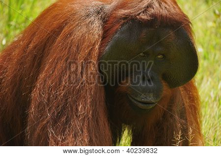 Orangutan - Closeup