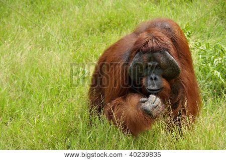 Orangutan - Camp Leakey