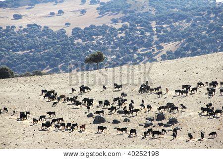 Bulls Farm In Spain