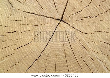 Wood Cut With Annual Rings