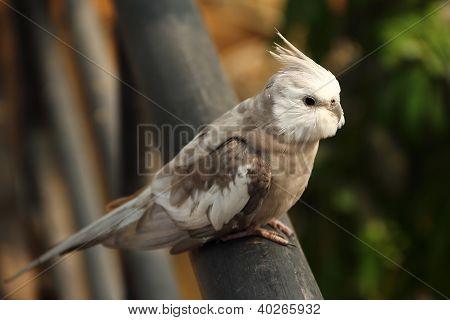 Close Up Of Cockatiel