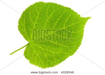 Lime Tree Leaf