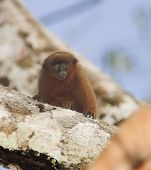 stock photo of titi monkey  - titi monkey baby - JPG