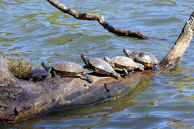 image of cooter  - Suwanee River Cooter Turtles crowded on a log in New York Prospect Park - JPG