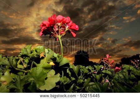 Geranium at sunset