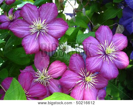 Beautiful Lilac Flowers Of Clematis