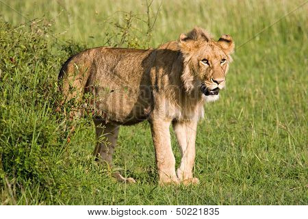 Young Lion In The Savannah