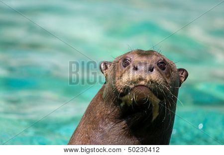 Beautiful sea lion in a water