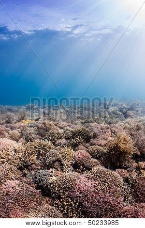 Sun beams illuminate healthy hard corals on a tropical reef