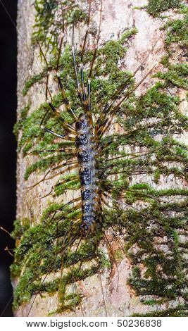 A Dangerous Long-legged Centipede Climbing A Tree In The Jungle At Night