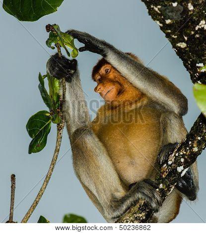 Proboscis Monkey Feeding In A Torrential Rain Storm On A Dark Afternoon
