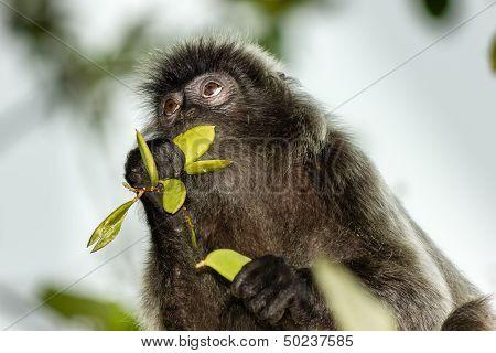 Silverleaf Monkey Feeding On Leaves
