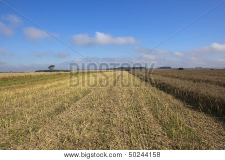 Harvested Canola Field