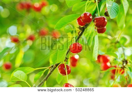 Cherry tree with fruits