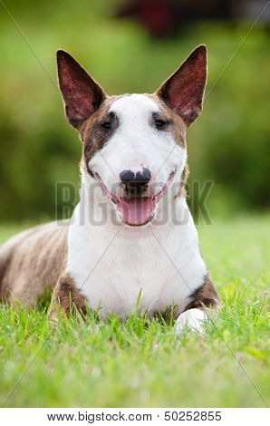 english bull terrier dog