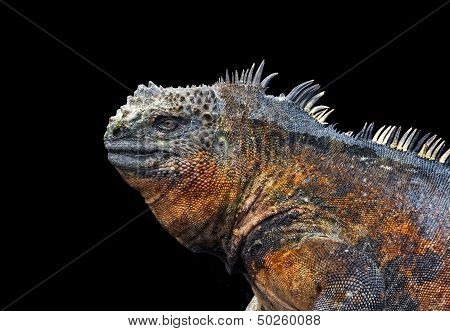 Profile Of Iguana