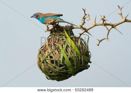 Cordon-bleu Investigates Weaver Nest