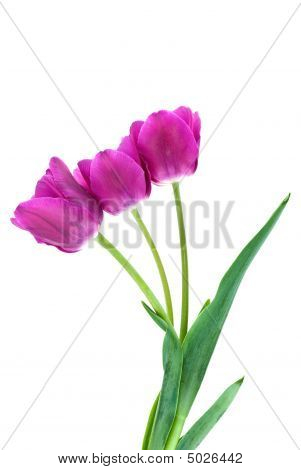 Three Purple Tulips