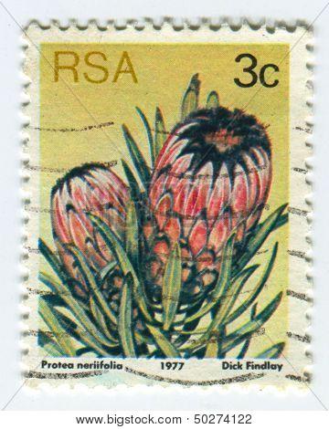 RSA - CIRCA 1977: A stamp printed in RSA shows image of the Protea neriifolia, circa 1977.