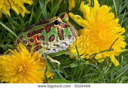 Frog In Dandelions