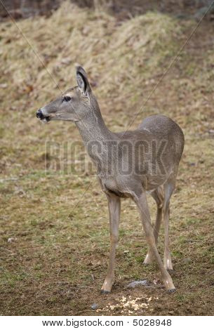 Slobbering Deer