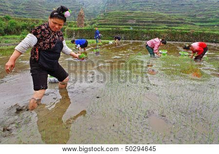 Chinese Peasant Woman On Paddy-field With Rice Seedlings In Hand.