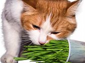 image of catnip  - Red cat eating green grass isolated on white - JPG