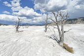stock photo of mammoth  - Dead trees stand over the terraces at Mammoth Hot Springs - JPG