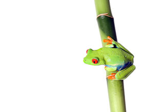 picture of red eye tree frog  - Closeup of a Red - JPG