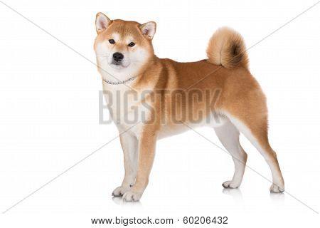 adorable red shiba inu dog