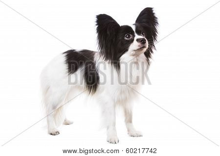 Beautiful Papillon Dog Standing On Isolated White