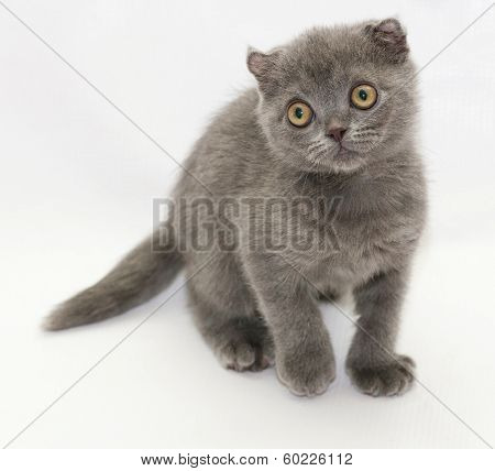 Small Blue Kitten Scottish Fold Costs Shyly Looking Away