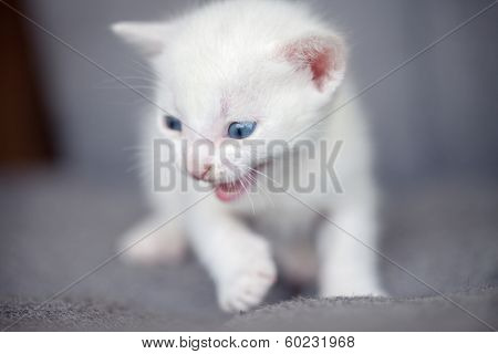 white angry kitten growling