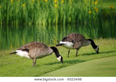 Geese On A Golf Course