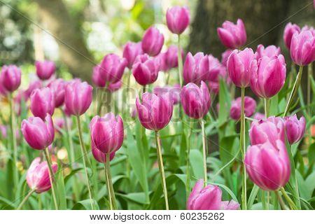 Pink beautiful tulips field
