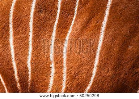 Bongo Pattern