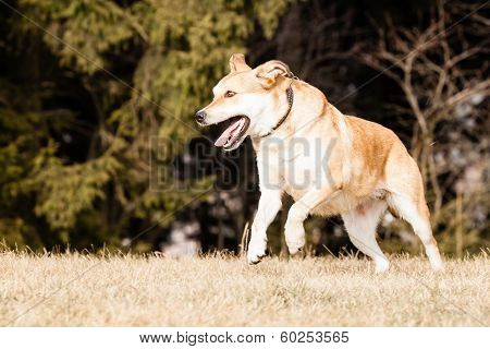 Mutt Of Labrador And German Shepherd