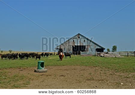 Beef Herd on the Prairie